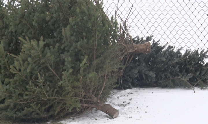 Hoosiers Reminded To Dispose Of Christmas Trees Safely This Season